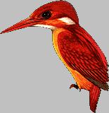 Alcedinidae